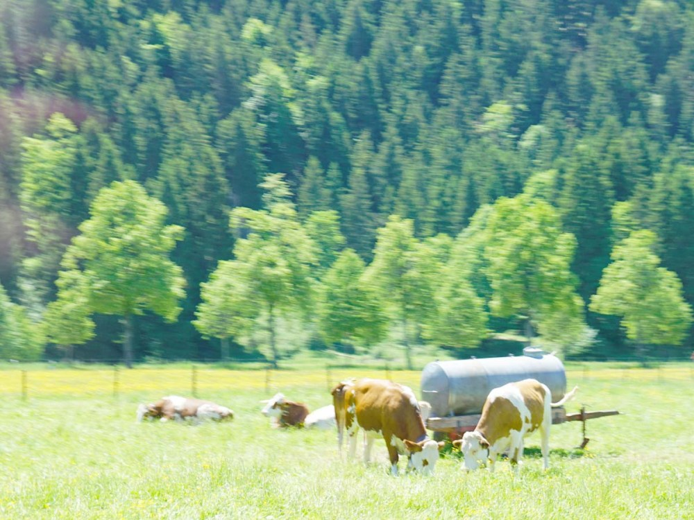 Cows in the Bavarian Countryside